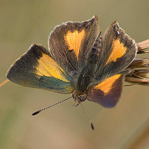 Bright Copper Paralucia aurifer Tasmanian butterfly