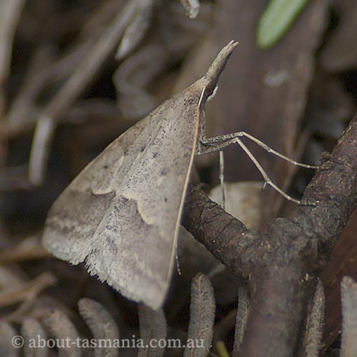 Long-nosed epidemia Tasmanian moth