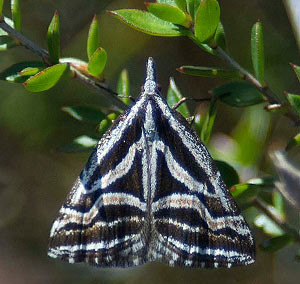 Heath moth
