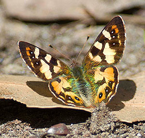 Tasmanian or Hobart Brown Butterfly