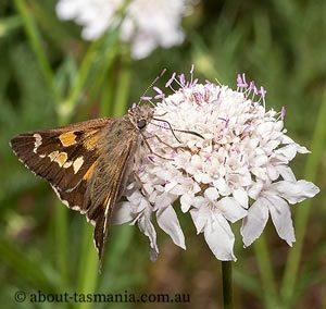 Donnysa  Skipper