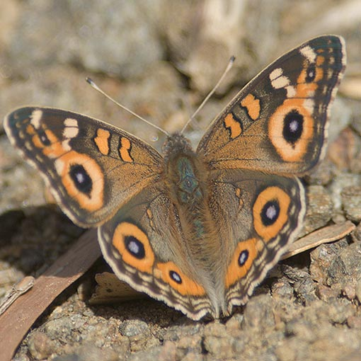 Meadow Argus Tasmanian butterfly