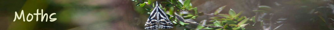 moths in Tasmania
