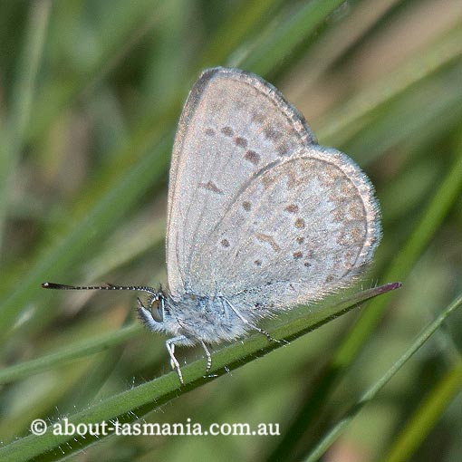 Common Grass Blue, Zizina labradus, Tasmania