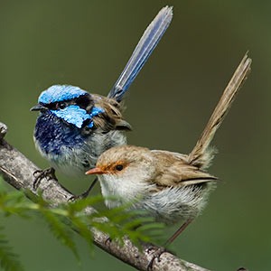 Superb Fairy-wrens Tasmania
