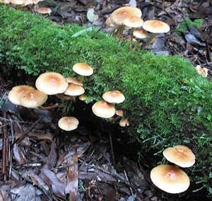 Hypholoma fasciculare var. fasciculare