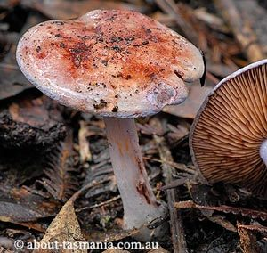 Cortinarius sp.