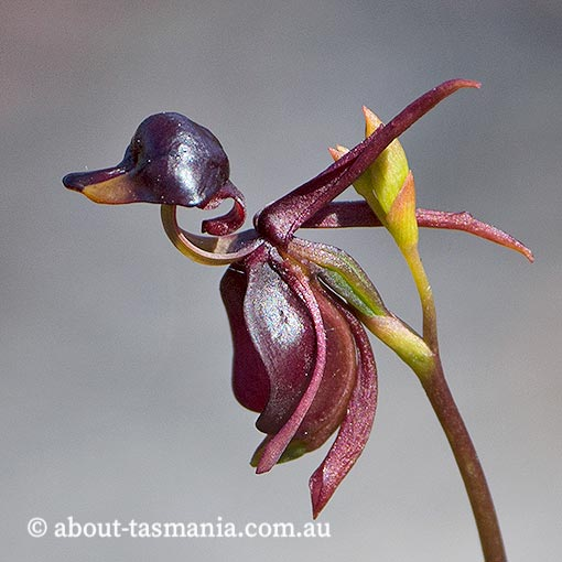 Calaena major, Large Duck Orchid, Tasmania