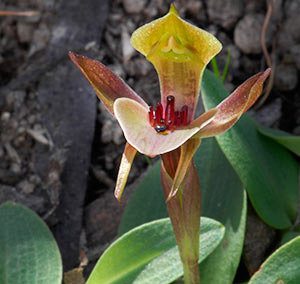 Threehorned Bird Orchid