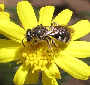 Burrowing Bee