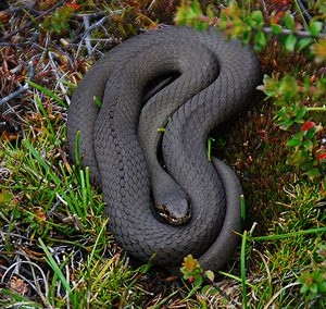 White-lipped snake