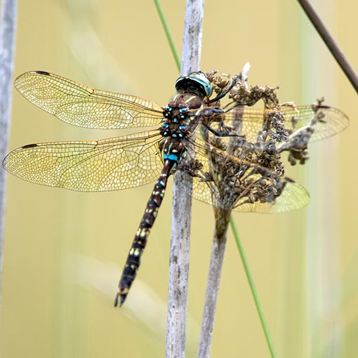 Blue-spotted hawker, Dragonflies in Tasmania