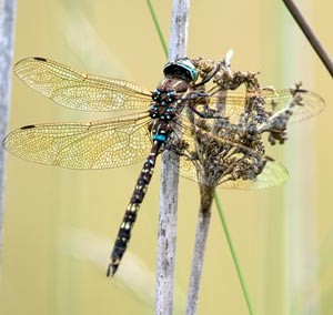 Blue-spotted Hawker