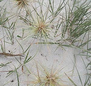 Hairy Spinifex