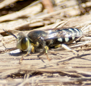Blue Sand Wasp