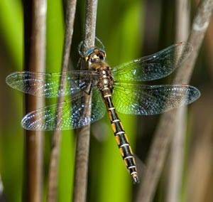 Eastern Swamp Emerald