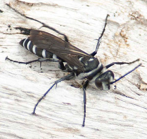 Zebra Spider Wasp