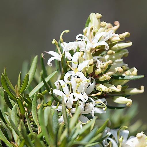Lomatia polymorpha, mountain guitarplant