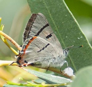 Silky Hairstreak