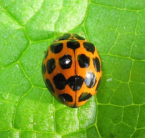 Common Spotted Ladybird