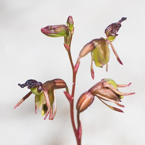 Calaena minor, Little Duck Orchid, Tasmania