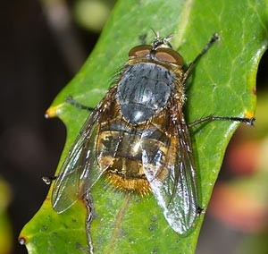 Calliphorid fly