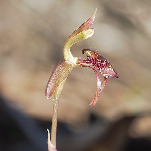 Autumn bird orchid