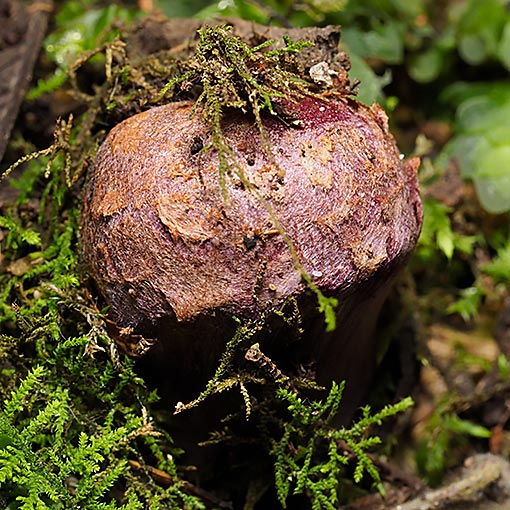 Cortinarius 'violet and bulbous' Tasmanian fungi