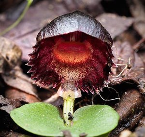 Stately Helmet Orchid