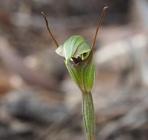 Pterostylis concinna