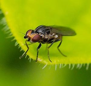 Frit fly