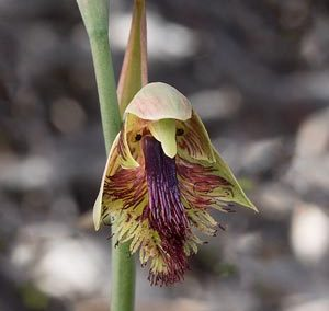 Pale Beard Orchid