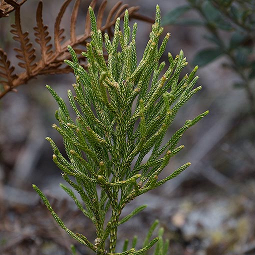 Lycopodium deuterodensum, Conifer Clubmoss Tasmania