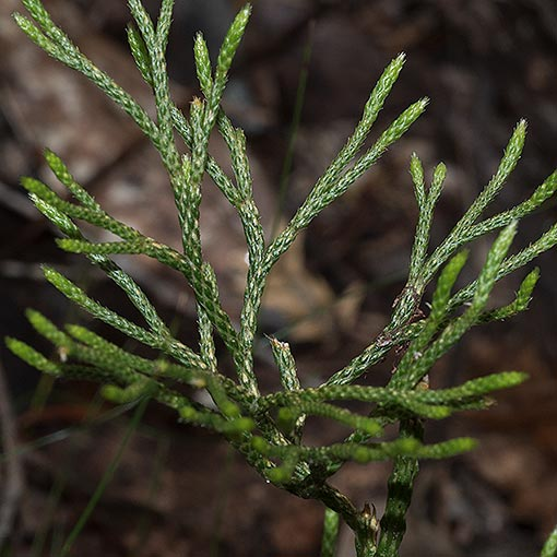 Lycopodium deuterodensum, Conifer Clubmoss
