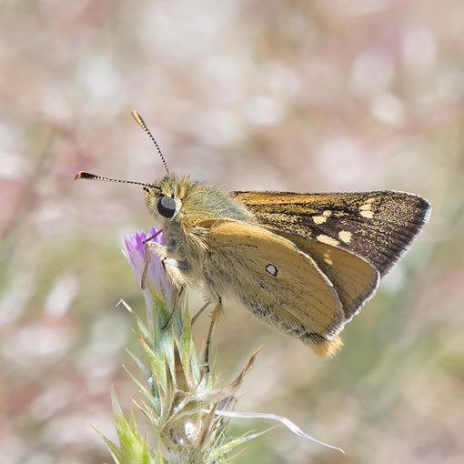 White Spotted Skipper or Yellow Ochre, Trapezites lutea
