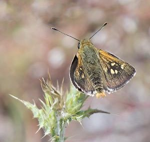 White Spotted Skipper