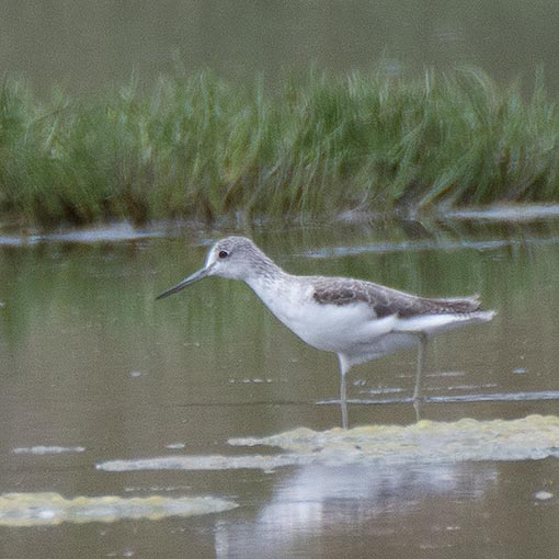 Common Greenshank, Tringa nebularia Tasmania