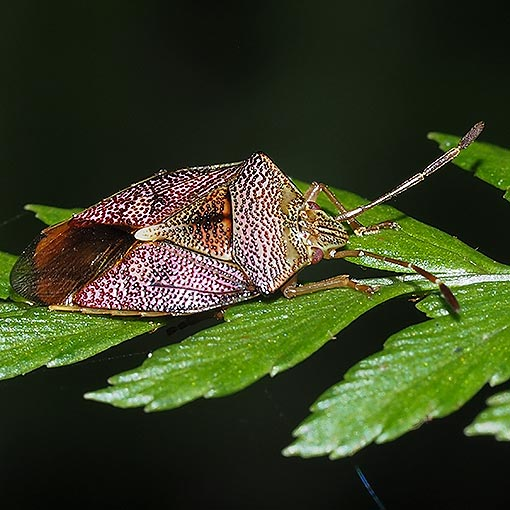 Shield Bug; Hiarchas sp. Tasmania