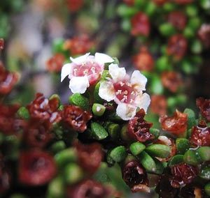 Alpine Heathmyrtle