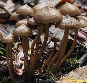 Tephrocybe sp.
