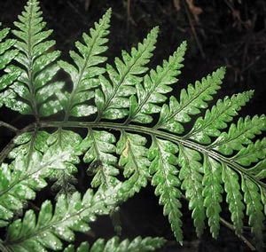 Leathery Shield Fern