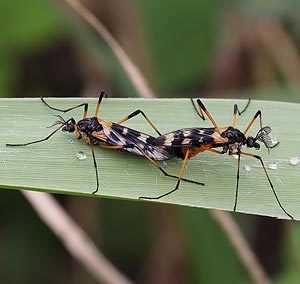 Short-palped Crane Flies