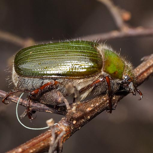 Pale Green Scarab Beetle, Xylonichus sp.