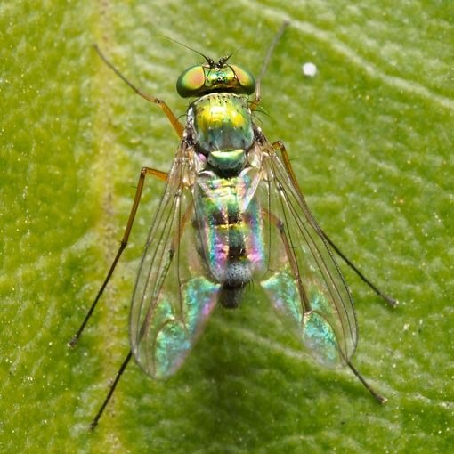 Long-legged fly Parentia species