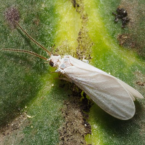 Dustywing lacewing, Coniopteryx sp.