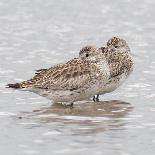 Great Knot, Calidris tenuirostris
