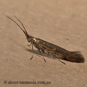 Coleophora alcyonipennella